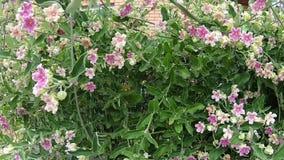 Viana do Castelo Portugal - 24 Juli 2019: Stäng sig upp av rosa blommor blommor little pink Blomning Bush stock video