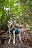 Viandante del cane del husky Immagini Stock Libere da Diritti
