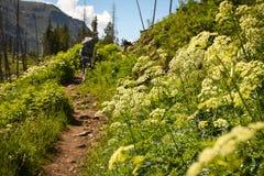 Viandante sulla traccia di montagna di Colorado con i Wildflowers bianchi del sedano di montagna Immagine Stock Libera da Diritti