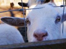 Viande et lait de chèvre images libres de droits