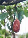 Viande traitée pendant de l'arbre Images libres de droits