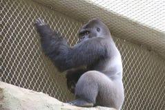 Viatu the Gorilla Stock Photography