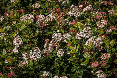 Vibernum Tinus  spring bouquet. Popular flowering shrub Vibernum Tinus  spring bouquet  in full bloom Royalty Free Stock Photos