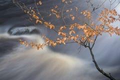 Vibra dorato attraversante della corrente del paesaggio della foresta di Autumn Fall Fotografie Stock Libere da Diritti