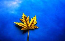Vibrance осени: Кленовый лист стоковая фотография