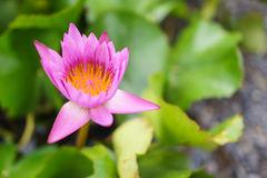 Vibrance pink lotus. Smooth dreamy pink lotus is blooming royalty free stock photos