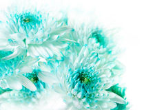 Vibrant Aqua Dahlia Flowers Stock Photos