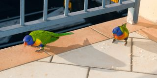 Vibrant Australian Rainbow Lorikeet eating bread crumbs. Royalty Free Stock Image