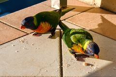 Vibrant Australian Rainbow Lorikeet eating bread crumbs. Stock Image
