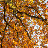 Vibrant autumn colors of oak tree fall leaves against blue sky l Stock Images