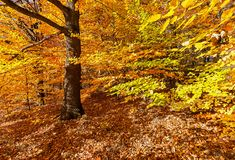 Vibrant autumn colours in the forest. Stock Photos