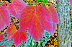 Vibrant Autumn Leaf Stock Images