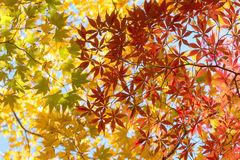 Vibrant Autumn leaves Royalty Free Stock Image