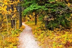 Vibrant autumn leaves of an aspen forest with hiking trail Royalty Free Stock Photography