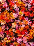 Vibrant autumn leaves covering the ground. Red pink orange yellow maple background Royalty Free Stock Photography