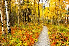 Vibrant autumn leaves of a forest with hiking trail Stock Images