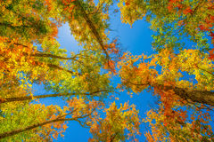 Vibrant Autumn Leaves Up in the Trees Stock Image