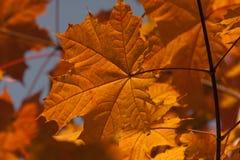 Vibrant autumn maple leaf. Stock Images