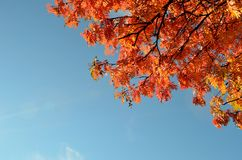 Vibrant autumn rowan tree branch with leaves and blue sunny sky Royalty Free Stock Photo