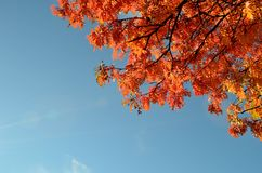 Vibrant autumn rowan tree branch with leaves and blue sunny sky Royalty Free Stock Photos