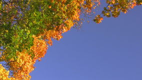 Vibrant autumn sky. Swinging maple branches with green yellow and orange leaves against the blue clear sky on a sunny day stock footage