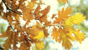 Vibrant autumn tree leaves close up. Close up of autumn tree moving leaves background. FULL HD, 1920x1080 stock footage