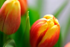 Vibrant baby tulips. Macro shot of vibrant baby tulips Royalty Free Stock Photos