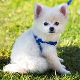 Adorable white pomeranian puppy portrait green grass stock photo