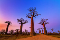 Vibrant Baobabs Royalty Free Stock Photography