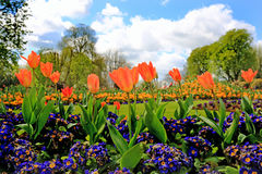 A vibrant bed of colourful orange tulips surrounded by purple polyanthus plants. A very pretty colourful garden bed with orange tulips, purple polyanthus plants Royalty Free Stock Photos