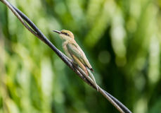 Vibrant bee-eater Royalty Free Stock Image