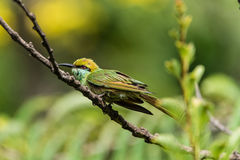 A vibrant bee-eater Royalty Free Stock Image