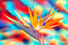 Vibrant Bird Of Paradise. Colorful bird of paradise flower with vibrant background stock images