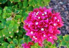 Vibrant Blossoming Bugambilia Flower Royalty Free Stock Photo