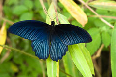 Vibrant blue butterfly Royalty Free Stock Photography