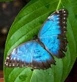 Vibrant Blue Butterfly. Large Blue and Black Butterfly royalty free stock images