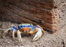 Vibrant blue and red sand crab. A very common crab in the Caribbean. They are all digging small dens in the wet sand and protect it fierce Stock Images