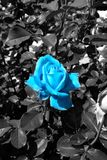 Blue rose blossom in a black and white sea of leaves - Garden flowers blooming in the summer. Vibrant blue rose blooming on the bush - Garden in the summer royalty free stock photos