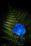 Vibrant Blue Rose. A single blue rose, close up Royalty Free Stock Photography