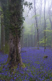 Vibrant bluebell carpet Spring forest foggy landscape Stock Image