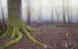 Vibrant bluebell carpet Spring forest foggy landscape Royalty Free Stock Image