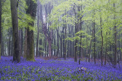 Vibrant bluebell carpet Spring forest foggy landscape Royalty Free Stock Photography