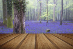 Vibrant bluebell carpet Spring forest foggy landscape with woode Royalty Free Stock Photography