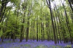 Vibrant bluebell carpet Spring forest landscape Royalty Free Stock Images