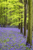 Vibrant bluebell carpet Spring forest landscape Stock Photo
