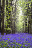 Vibrant bluebell carpet Spring forest landscape Royalty Free Stock Photos