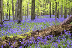 Vibrant bluebell carpet Spring forest landscape. Beautiful carpet of bluebell flowers in Spring forest landscape Royalty Free Stock Photos