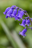 Vibrant bluebell Spring flowers with textured and vignette Stock Image