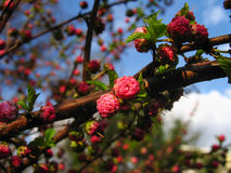 Vibrant branch with blossoming  buds of pink bush louiseania. (prunus triloba Royalty Free Stock Photo