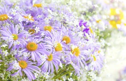 Vibrant bright purple daisy flowers. Spring and summer flowers Royalty Free Stock Images